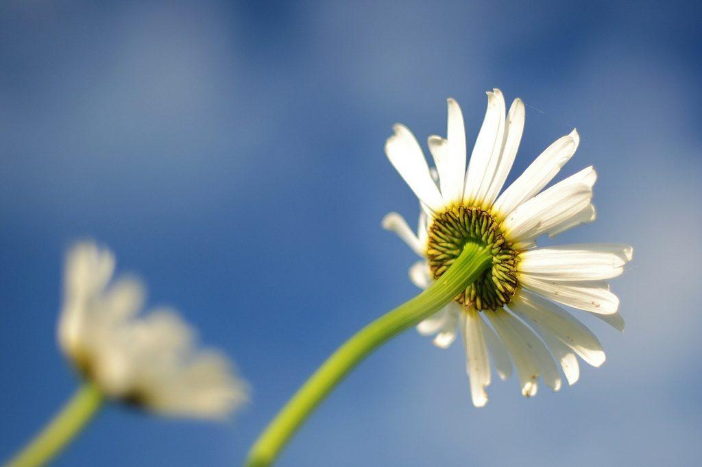 daisy-596765_1280